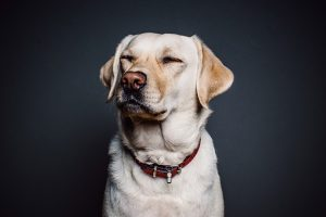 animal-collar-dog-8700